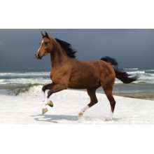 Norwegian Beach Warmblood Wallpapers - Photography for Download